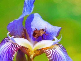 Prénom  Iris origine - signification - étymologie