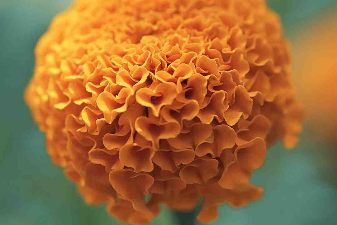 Quelle fleur symbolise l'intelligence ?