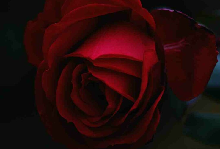 Rose signification