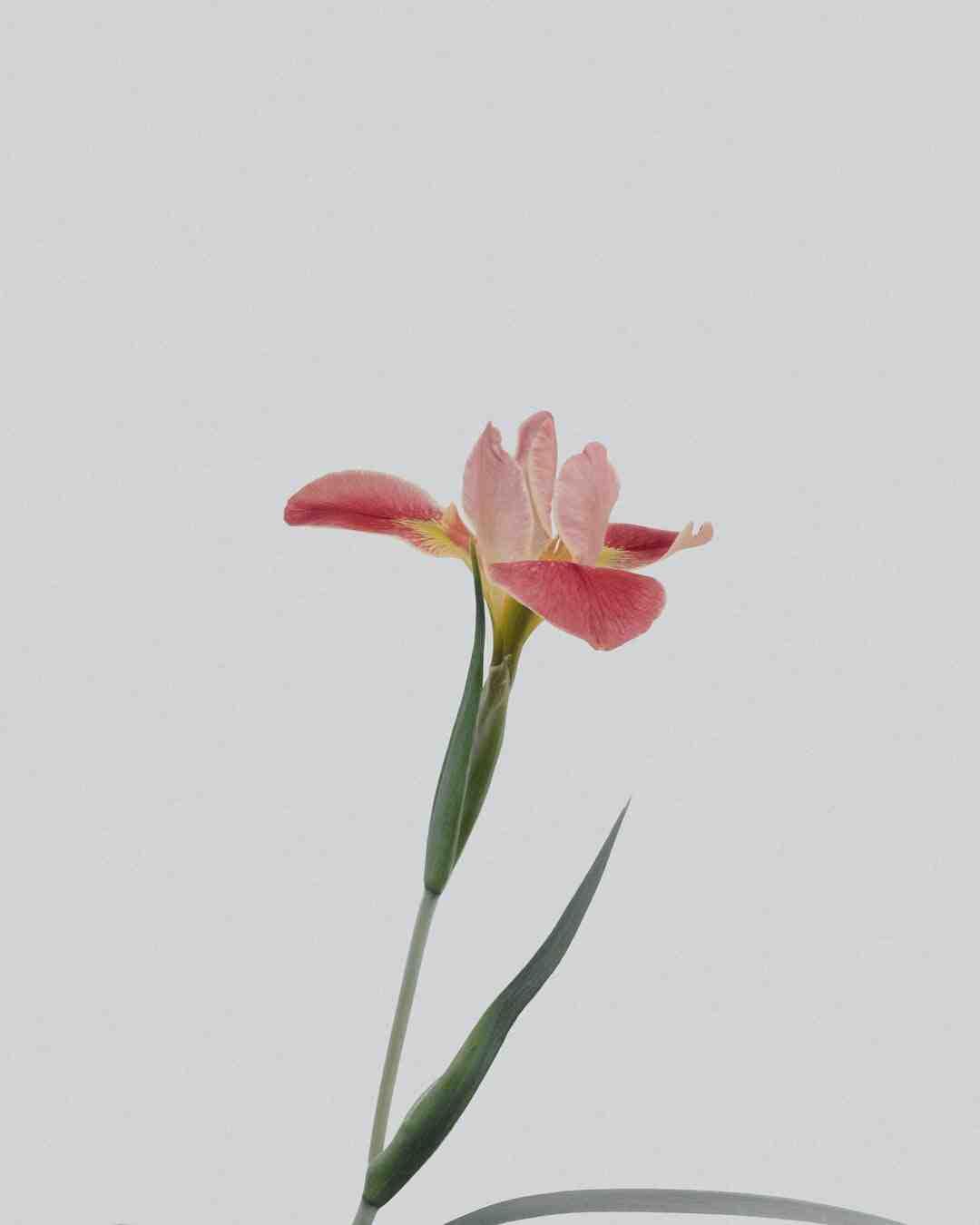 Pourquoi se faire tatouer un lotus ?